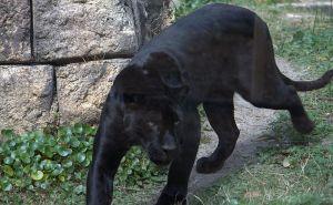 Black Panther Magnus Manske wikimedia