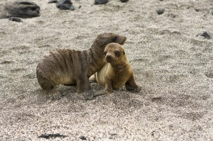 Sea Lion Pups Canstock