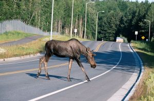 Moose crossing road in Alaska public domain USGS